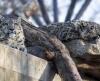 Schnee-Leoparden, Wilhelma